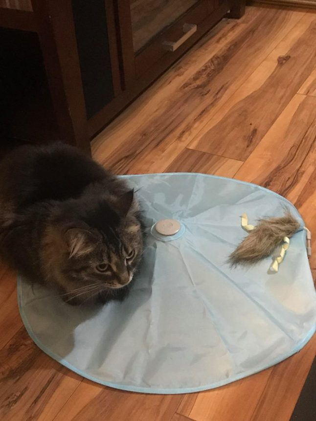 Columbus Ohio area quality cat sitter SmartyKat cat toy