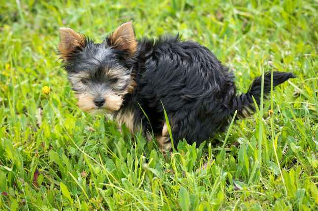 yorkshire terrier puppy on green grass field